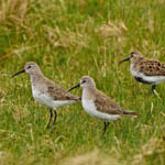 Curlew Sandpipers, Baleshare, May