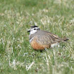 female Dotterel, South Uist