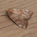 Dun-bar - Outer Hebrides Moths