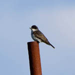 Eastern Kingbird, Barra