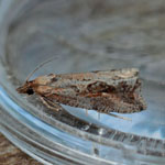 Endothenia quadrimaculana - Outer Hebrides Moths