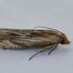 Eucosma cana - Outer Hebrides Moths