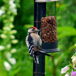 Great Spotted Woodpecker Outer Hebrides Birds