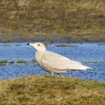 Glaucous Gull drinking