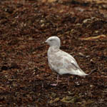 Glaucous Gull in Stinky Bay