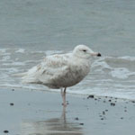 Glaucous Gull, June, South Uist