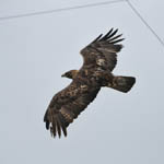 adult Golden Eagle, North Uist