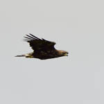 Golden Eagle, Baleshare