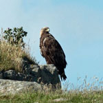 Golden Eagle - Outer Hebrides Birds
