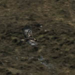 Golden Eagle, Toe Head, Harris