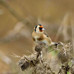 Goldfinch, Outer Hebrides