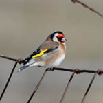 Goldfinch, South Uist