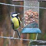 Great Tit, South Uist