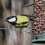Great Tit, Outer Hebrides