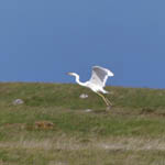 Great White Egret, South Uist