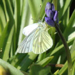Green-veined White butterfly, Outer Hebrides