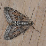 Grey Pine Carpet - Outer Hebrides Moths