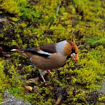 Hawfinch, North Uist