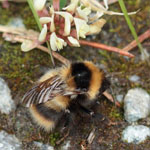 Heath Bumblebee