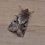 Hebrew Character - Outer Hebrides Moths