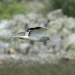 Hen Harrier Birds Outer Hebrides