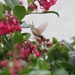 Hummingbird Hawkmoth, Outer Hebrides