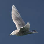 2nd winter Iceland Gull, Outer Hebrides