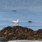 Iceland Gull, South Uist