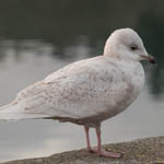 Iceland Gull, Lewis