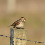 Lapland Bunting Outer Hebrides