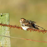 Lapland Bunting North Uist