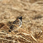 male Lapland Bunting