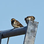 Lapland Buntings, North Uist