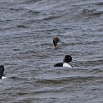 Lesser Scaup, Outer Hebrides