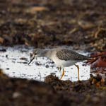 juvenile Lesser Yellowlegs, Outer Hebrides