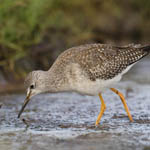 Lesser Yellowlegs, Loch Paible