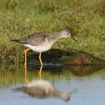 Lesser Yellowlegs, North Uist