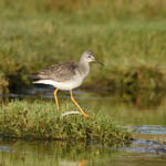 juvenile Lesser Yellowlegs