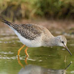Lesser Yellowlegs, Uist