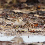 juvenle Little Stint