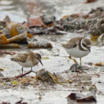 Little Stint and Ringed Plover