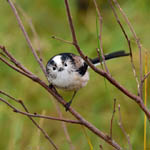 Long-tailed Tit, Outer Hebrides