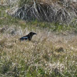 Magpie, South Uist