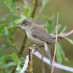 Marsh Warbler, South Uist
