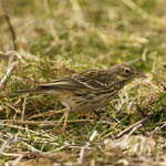 Meadow Pipit, Outer Hebrides