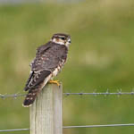 Merlin, Outer Hebrides