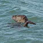 Otter - Mammals of the Outer Hebrides