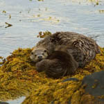 Otter with cubs, Benbecula