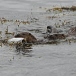 Otters Outer Hebrides