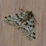 Pale-brindled Beauty - Outer Hebrides Moths